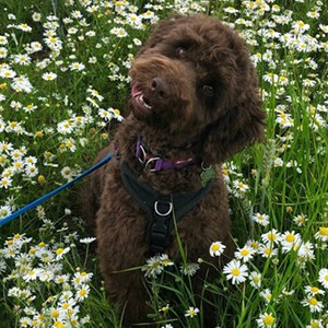 cockapoo dog training Leamington Spa