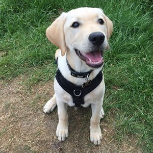 labrador dog trainer Warwick