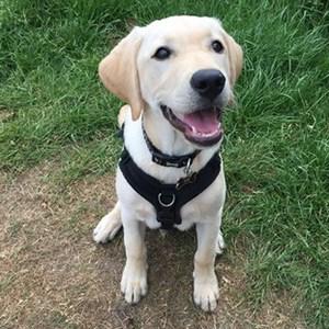 labrador dog trainer Warwick