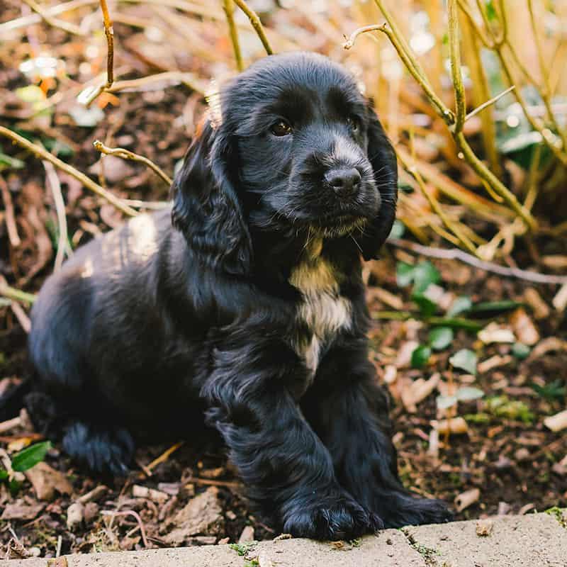 positive dog trainer spaniel puppy specialist
