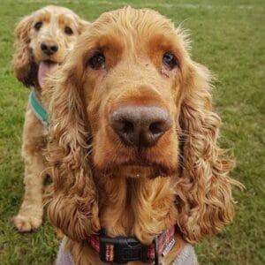 spaniel specialist dog trainer