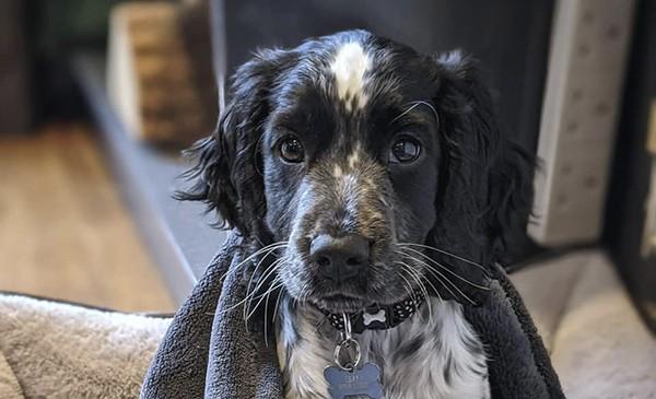 online dog training for spaniels