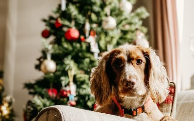 How to stop your crazy Spaniel spoiling Christmas
