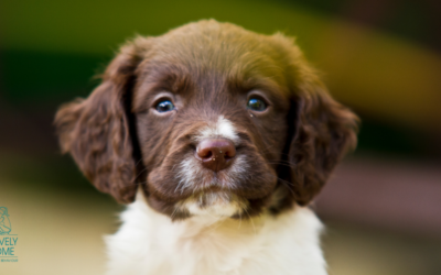 Socialising your Spaniel puppy in a socially distant world
