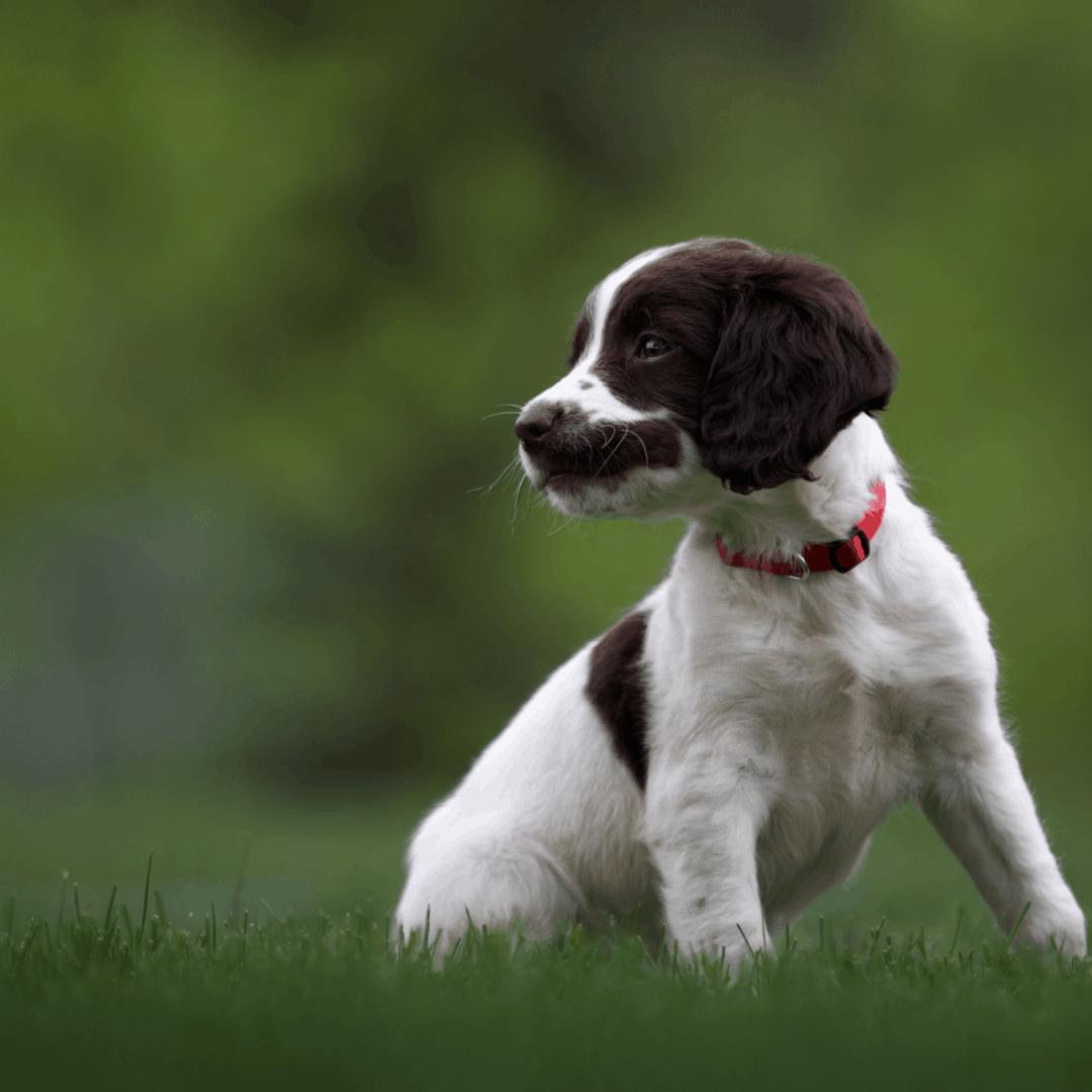 Spaniel puppy blog