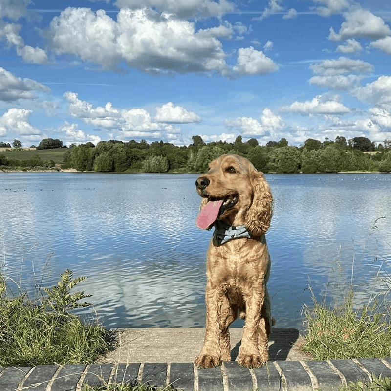 dog training support for spaniel breed with specialist