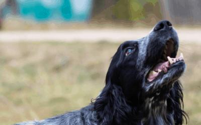 Why won't my Spaniel stop barking?
